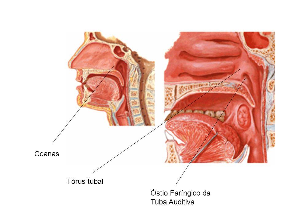 FARINGE – Óstio faríngico da tuba auditiva: situado na parede lateral da parte nasal da faringe.