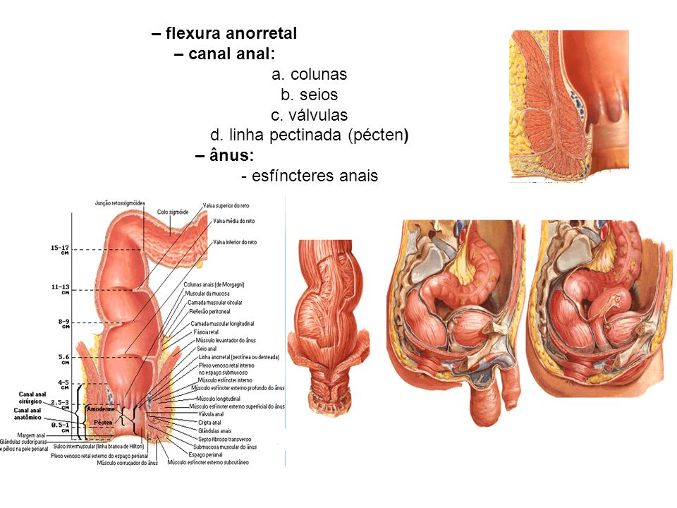– flexura anorretal – canal anal: a.colunas b. seios c.