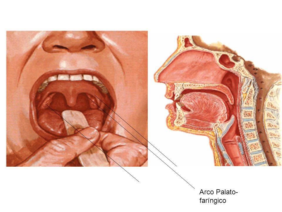 1 Cavidade Bucal 1.3 - Limites: 1.3.1 – Lábios (limite anterior): prega muscular revestida de mucosa.