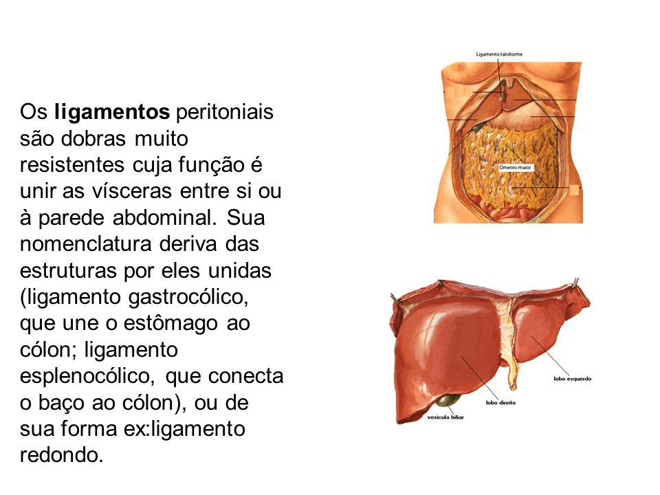 Ligamento umbilical mediano, resultante do úraco (estrutura embrionária que vai da bexiga ao umbigo) fibrosado, produz a prega umbilical mediana as a.a.