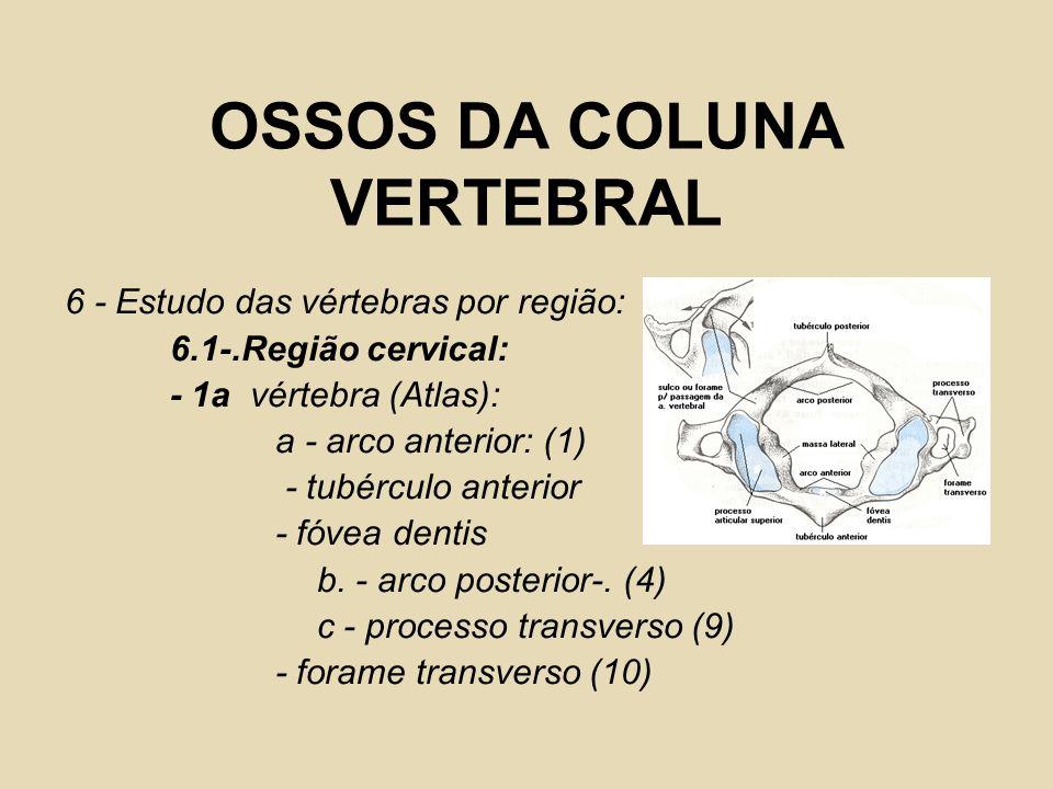 OSSOS DA COLUNA VERTEBRAL 6 - Estudo das vértebras por região: 6.1-.Região cervical: - 1a vértebra (Atlas): a - arco anterior: (1) - tubérculo anterio