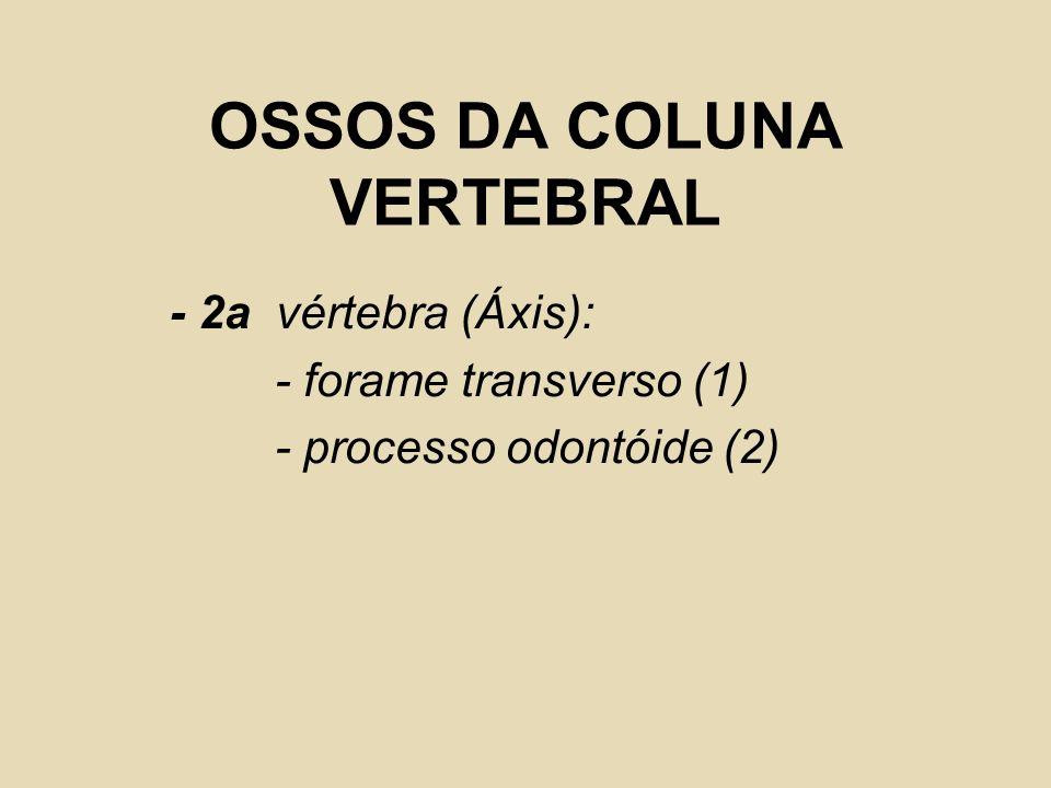 OSSOS DA COLUNA VERTEBRAL - 2a vértebra (Áxis): - forame transverso (1) - processo odontóide (2)
