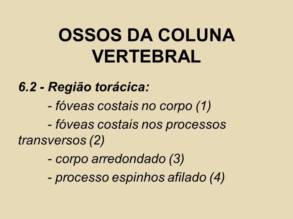 OSSOS DA COLUNA VERTEBRAL 6.2 - Região torácica: - fóveas costais no corpo (1) - fóveas costais nos processos transversos (2) - corpo arredondado (3)