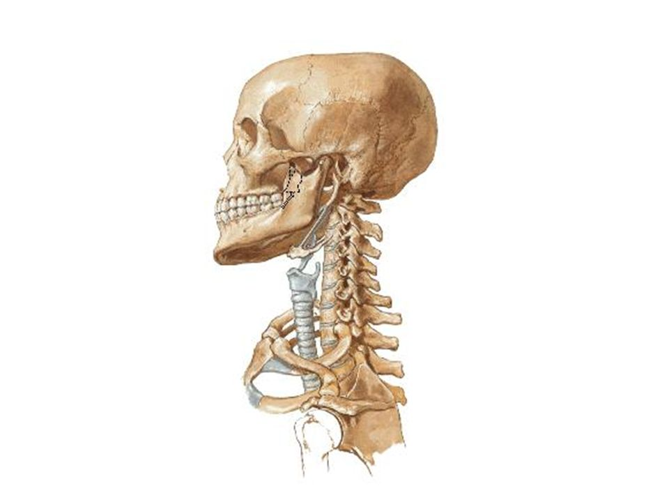 OSSOS DA COLUNA VERTEBRAL 1 - Conceitos: 1.1- Coluna vertebral 1.2- Vértebra 2 - Constituição da coluna vertebral: 2.1- vértebras cervicais 2.2- vértebras torácicas 2.3- vértebras lombares 2.4- vértebras sacrais (sacro) 2.5- vértebras coccígeas (cóccix)