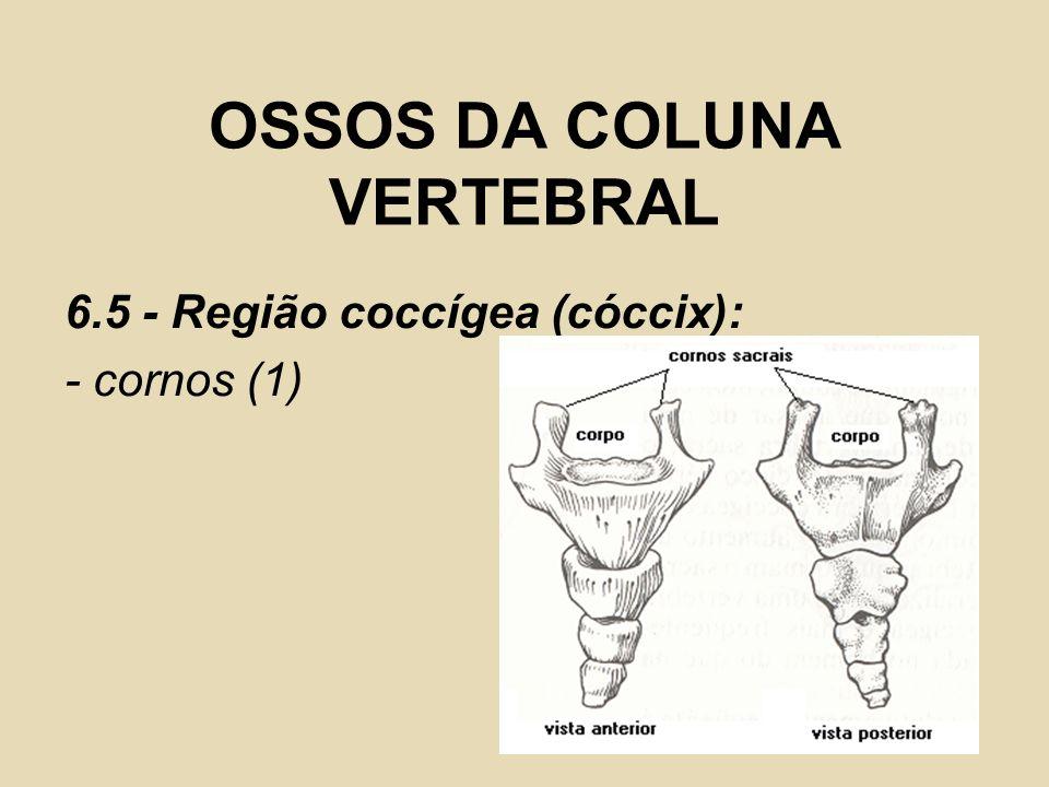 OSSOS DA COLUNA VERTEBRAL 6.5 - Região coccígea (cóccix): - cornos (1)