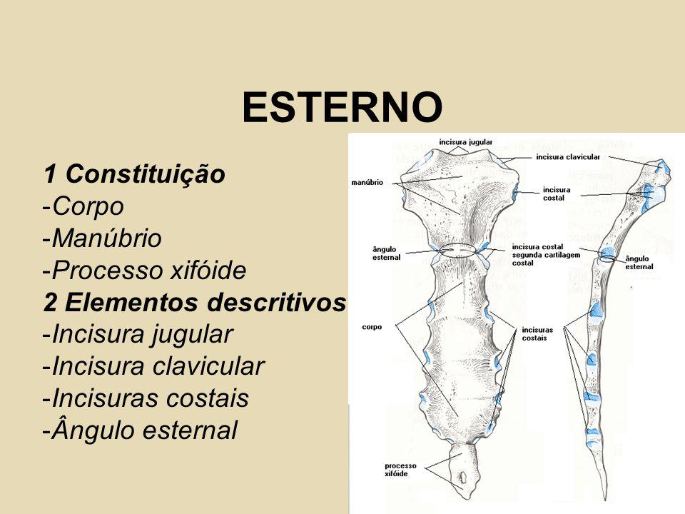 ESTERNO 1 Constituição -Corpo -Manúbrio -Processo xifóide 2 Elementos descritivos -Incisura jugular -Incisura clavicular -Incisuras costais -Ângulo es
