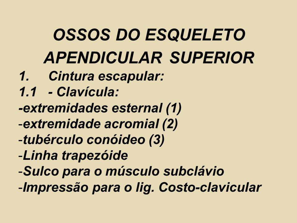 1.Cintura escapular: 1.1- Clavícula: -extremidades esternal (1) -extremidade acromial (2) -tubérculo conóideo (3) -Linha trapezóide -Sulco para o músc