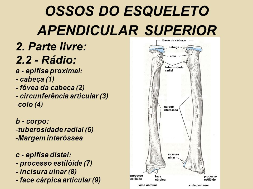 OSSOS DO ESQUELETO APENDICULAR SUPERIOR 2.
