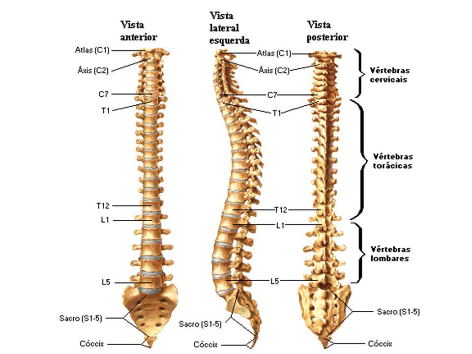 OSSOS DA COLUNA VERTEBRAL 3 - Estudo da vértebra típica: 3.1- corpo 3.2 - arco: a - pedículos b-lâminas c - processos: - espinhoso - transversos - articulares superiores e inferiores 3.3 - forame vertebral