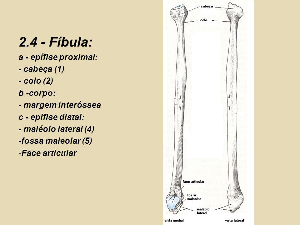 2.4 - Fíbula: a - epífise proximal: - cabeça (1) - colo (2) b -corpo: - margem interóssea c - epifise distal: - maléolo lateral (4) -fossa maleolar (5