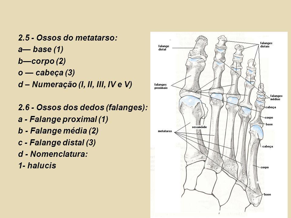 2.5 - Ossos do metatarso: a base (1) bcorpo (2) o cabeça (3) d – Numeração (I, II, III, IV e V) 2.6 - Ossos dos dedos (falanges): a - Falange proximal