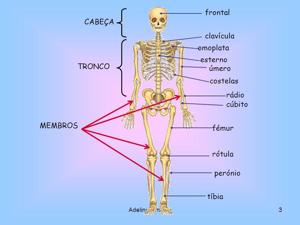 Adelino Almeida14 Músculo contraído Músculo relaxado