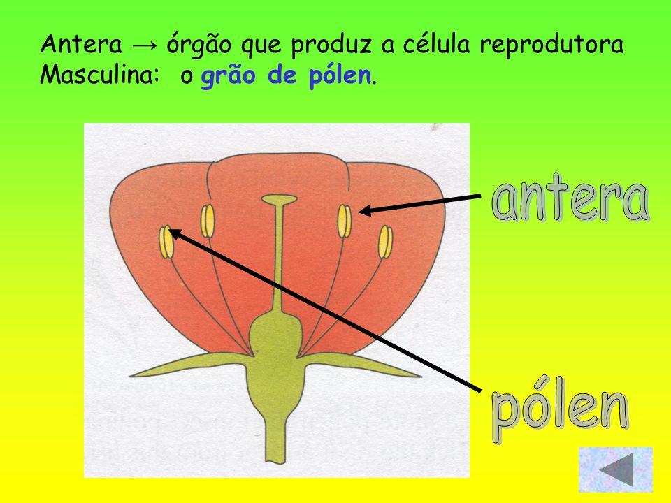 Antera órgão que produz a célula reprodutora Masculina: o grão de pólen.