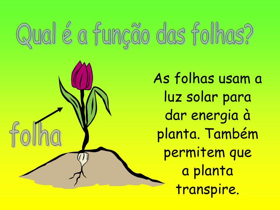 As folhas usam a luz solar para dar energia à planta. Também permitem que a planta transpire.