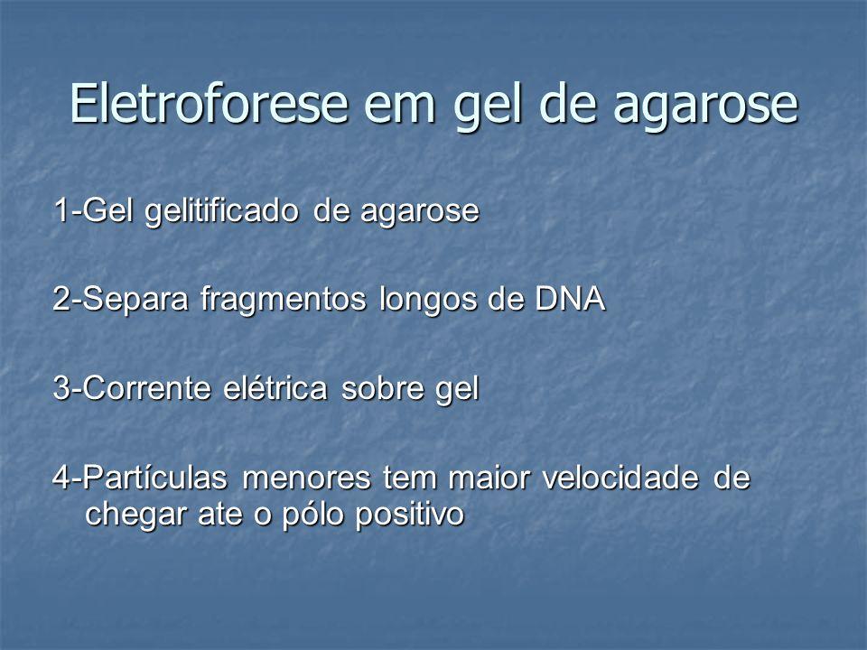 Eletroforese em gel de agarose 1-Gel gelitificado de agarose 2-Separa fragmentos longos de DNA 3-Corrente elétrica sobre gel 4-Partículas menores tem