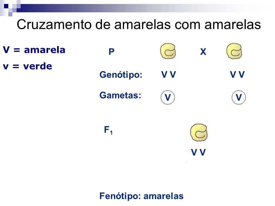 P Fenótipo: amarelas Gametas: VV Genótipo:V F1F1 X V = amarela v = verde Cruzamento de amarelas com amarelas