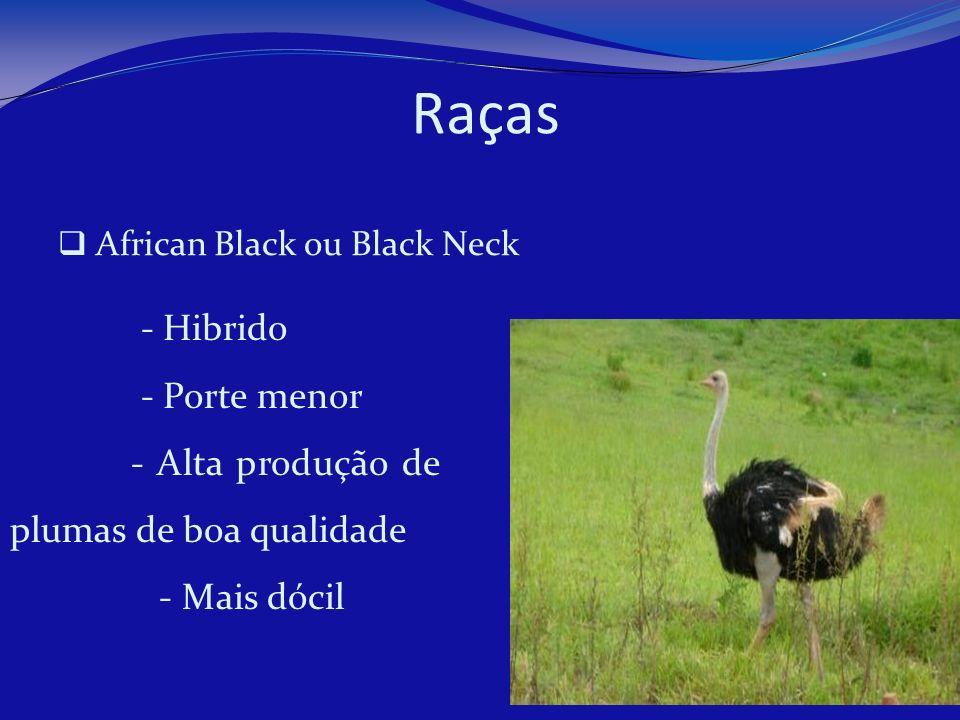 African Black ou Black Neck - Hibrido - Porte menor - Alta produção de plumas de boa qualidade - Mais dócil