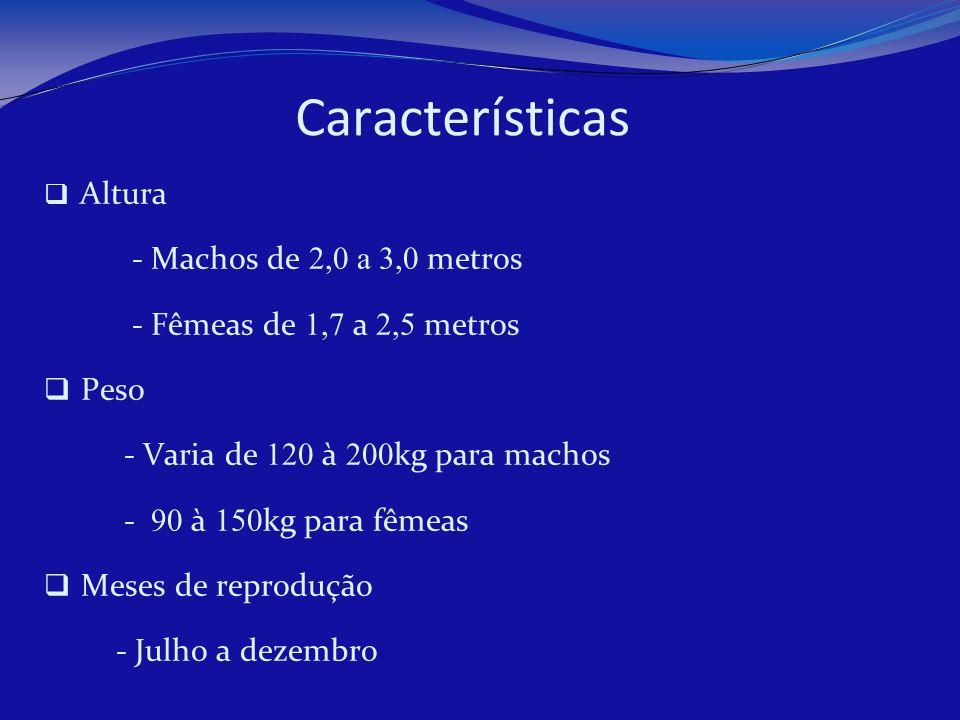 Características Altura - Machos de 2,0 a 3,0 metros - Fêmeas de 1,7 a 2,5 metros Peso - Varia de 120 à 200 kg para machos - 90 à 150 kg para fêmeas Me