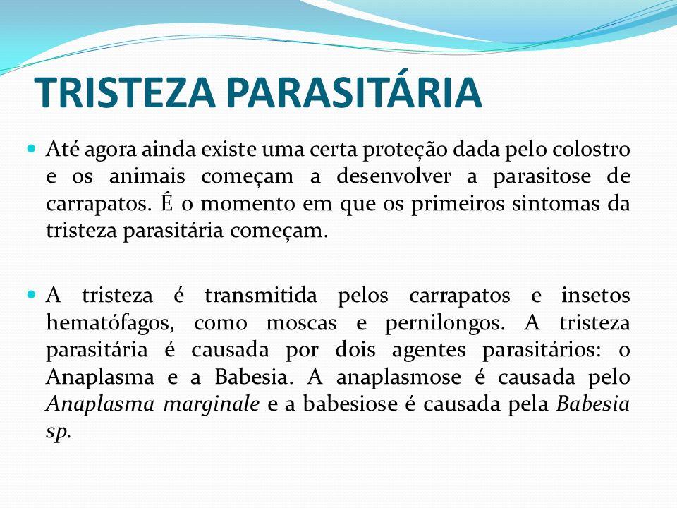 TRISTEZA PARASITÁRIA Até agora ainda existe uma certa proteção dada pelo colostro e os animais começam a desenvolver a parasitose de carrapatos. É o m