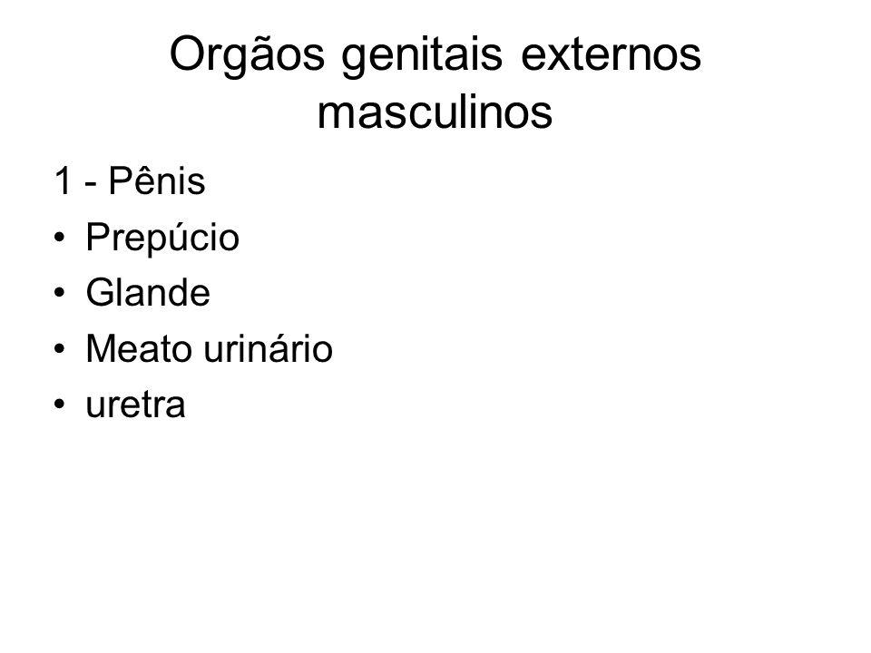 Orgãos genitais externos masculinos 1 - Pênis Prepúcio Glande Meato urinário uretra