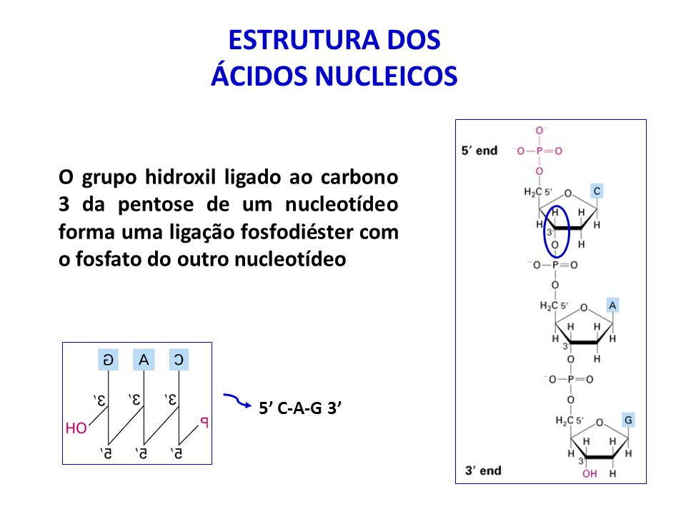 ESTRUTURA DOS ÁCIDOS NUCLEICOS As bases nitrogenadas podem ser divididas em dois grupos de acordo com sua estrutura: