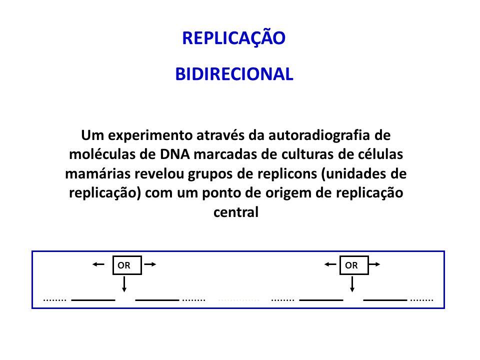 REPLICAÇÃO BIDIRECIONAL Um experimento através da autoradiografia de moléculas de DNA marcadas de culturas de células mamárias revelou grupos de replicons (unidades de replicação) com um ponto de origem de replicação central OR