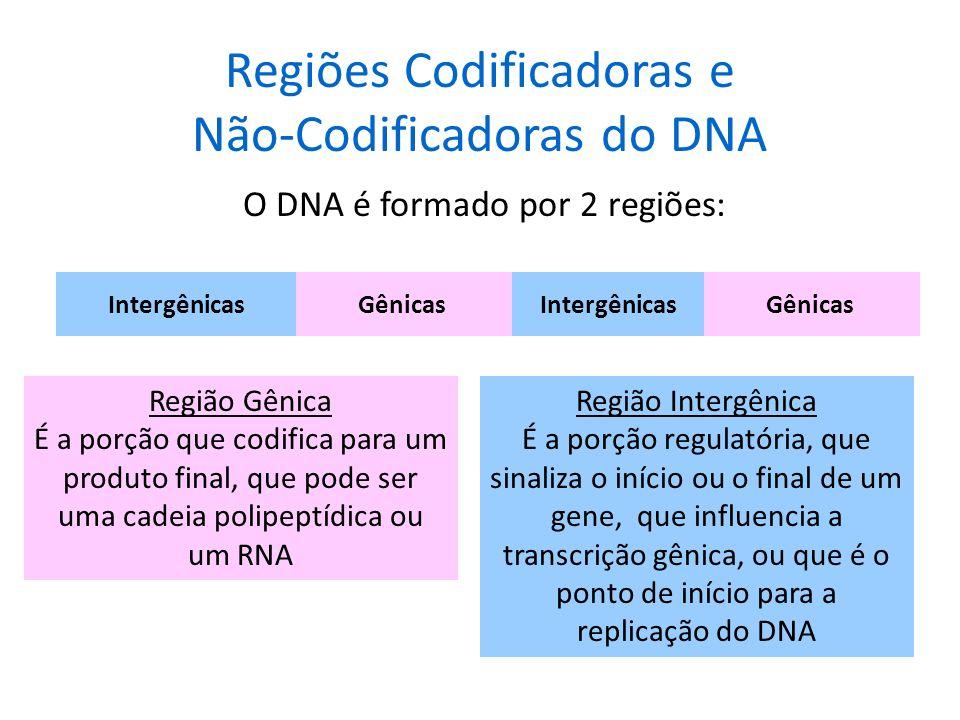 Síntese de DNA em Eucariontes : As Bolhas de Replicação Nos eucariontes, a replicação requer múltiplas origens, devido ao tamanho de seu genoma. A rep