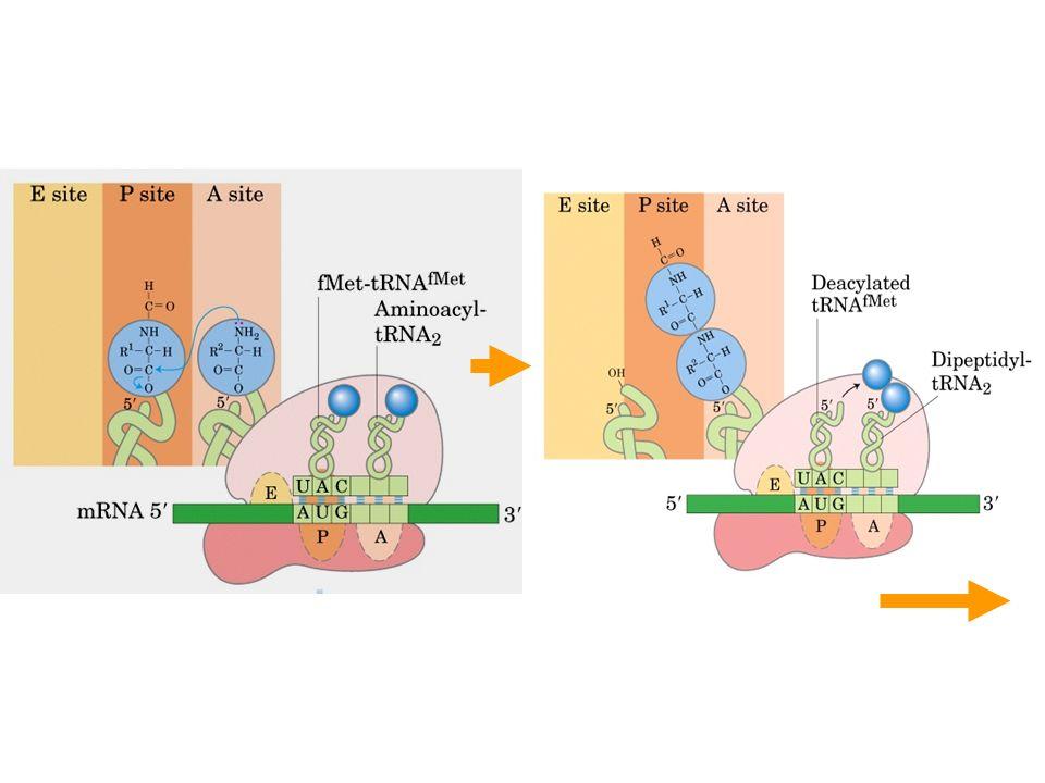 O ribossomo acomoda dois tRNAs carregados