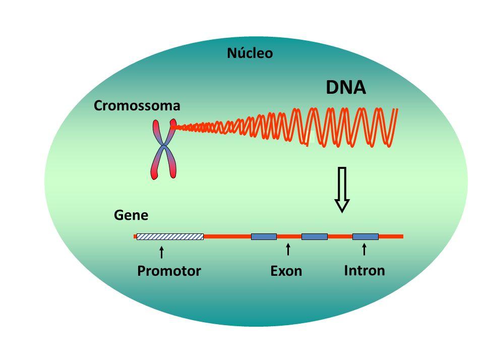 DNA 1. Regulação transcricional HnRNA 2. Regulação no processamento do RNA primário 3. Regulação no transporte do mRNA para o citoplasma RETÍCULO ENDO