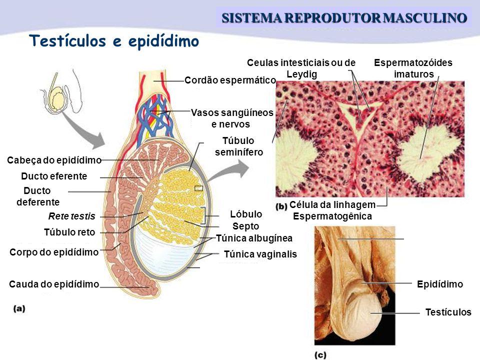 Profa. Dra. Ana Cristina C. Vianna SISTEMA REPRODUTOR MASCULINO Cordão espermático Vasos sangüíneos e nervos Túbulo seminífero Ceulas intesticiais ou