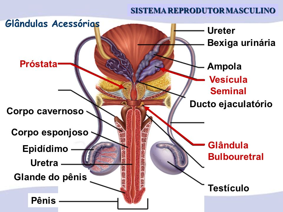 Profa. Dra. Ana Cristina C. Vianna SISTEMA REPRODUTOR MASCULINO Próstata Vesícula Seminal Glândula Bulbouretral Pênis Glande do pênis Uretra Epidídimo