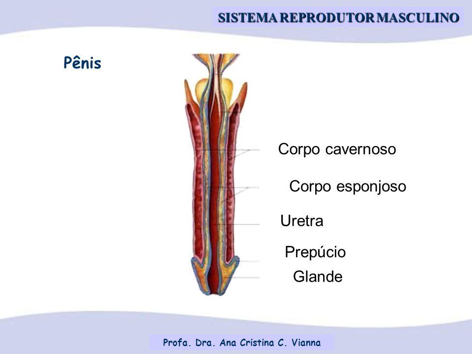 Profa. Dra. Ana Cristina C. Vianna SISTEMA REPRODUTOR MASCULINO Prepúcio Uretra Corpo esponjoso Corpo cavernoso Glande Pênis