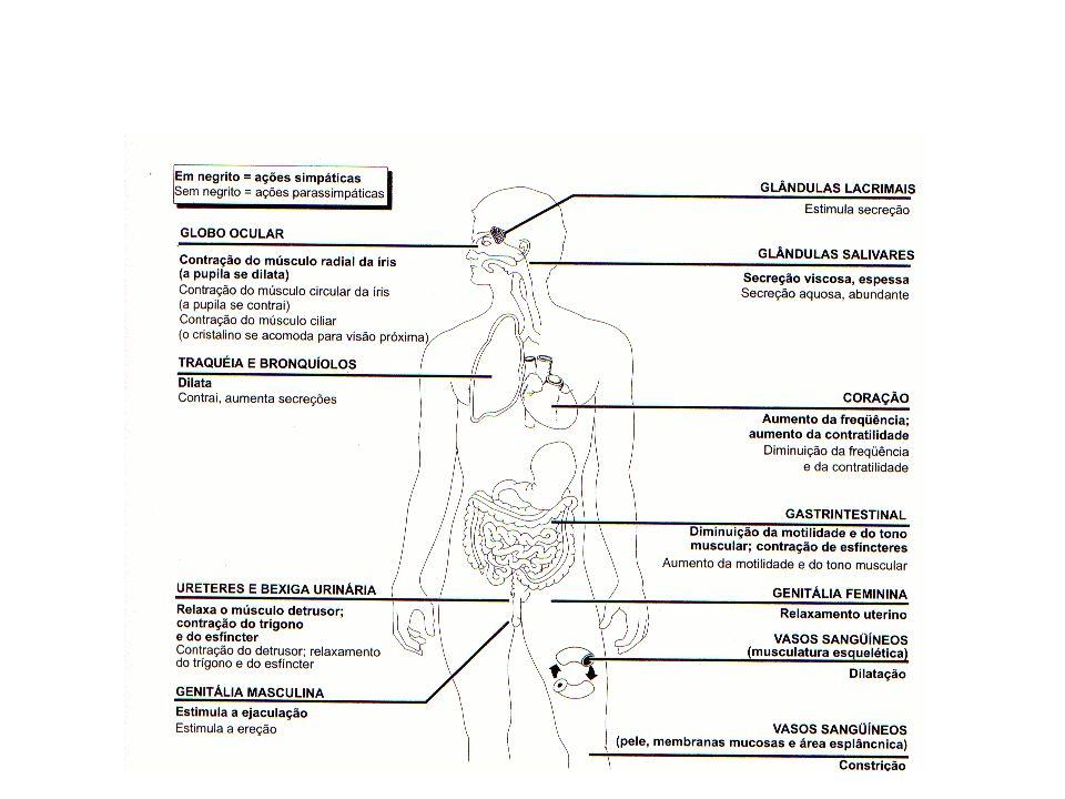 CoIinérgicos e Anticolinérgicos DROGAS PARASSIMPATOLíTICAS EFEITOS FARMACOLÓGICOS USO CLÍNICO - freqüentemente espasmo de músculo liso - anestesia - superdosagem dos anticolinesterásicos Bloqueadores Muscarínicos Sintéticos