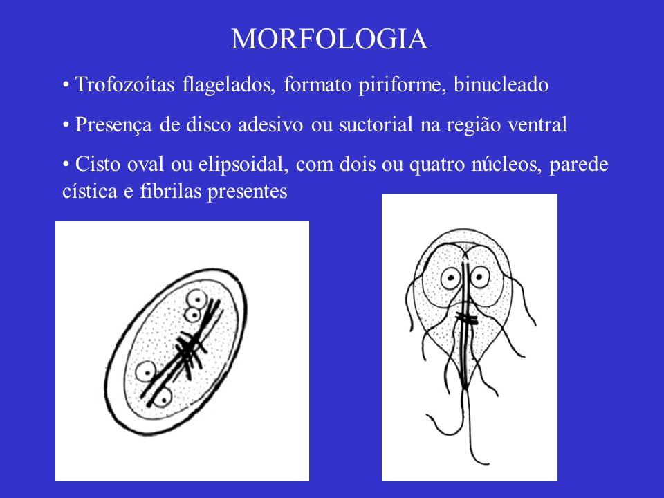 MORFOLOGIA Trofozoítas flagelados, formato piriforme, binucleado Presença de disco adesivo ou suctorial na região ventral Cisto oval ou elipsoidal, co