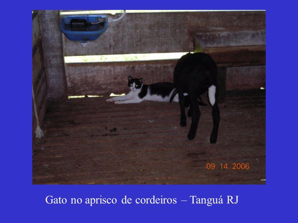 Gato no aprisco de cordeiros – Tanguá RJ