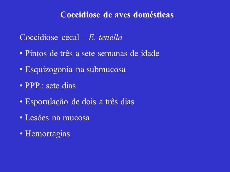 Coccidiose de aves domésticas Coccidiose cecal – E. tenella Pintos de três a sete semanas de idade Esquizogonia na submucosa PPP.: sete dias Esporulaç