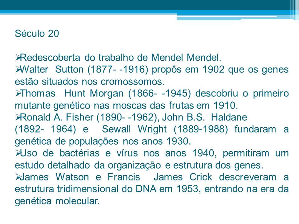 Século 20 Redescoberta do trabalho de Mendel Mendel. Walter Sutton (1877- -1916) propôs em 1902 que os genes estão situados nos cromossomos. Thomas Hu