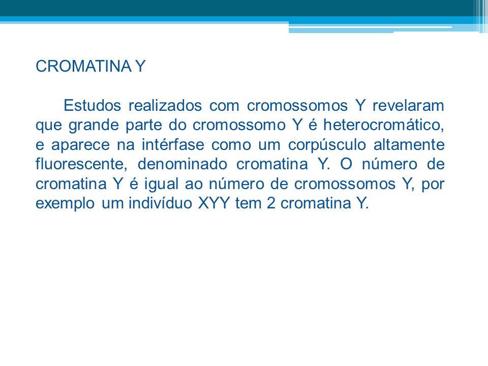 CROMATINA Y Estudos realizados com cromossomos Y revelaram que grande parte do cromossomo Y é heterocromático, e aparece na intérfase como um corpúscu