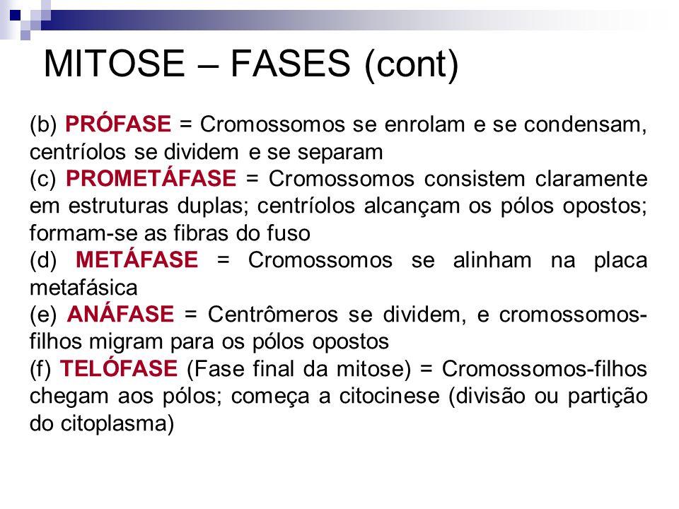 MITOSE – FASES (cont) (b) PRÓFASE = Cromossomos se enrolam e se condensam, centríolos se dividem e se separam (c) PROMETÁFASE = Cromossomos consistem