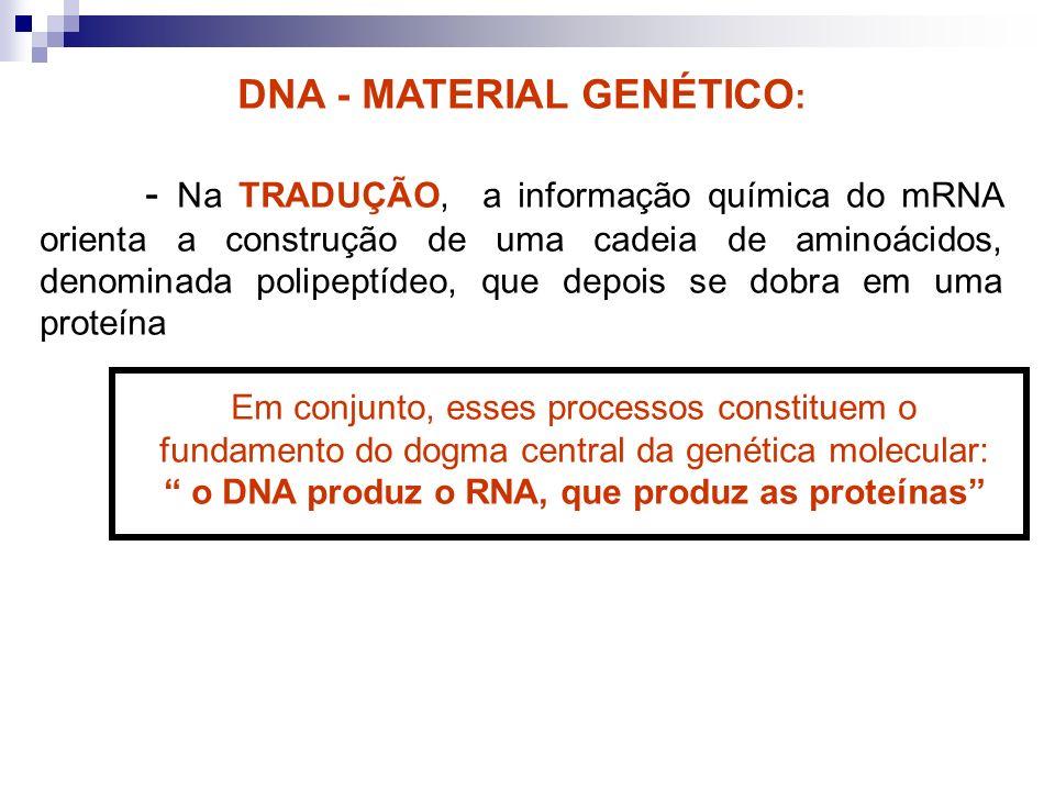 DNA - MATERIAL GENÉTICO : - Na TRADUÇÃO, a informação química do mRNA orienta a construção de uma cadeia de aminoácidos, denominada polipeptídeo, que