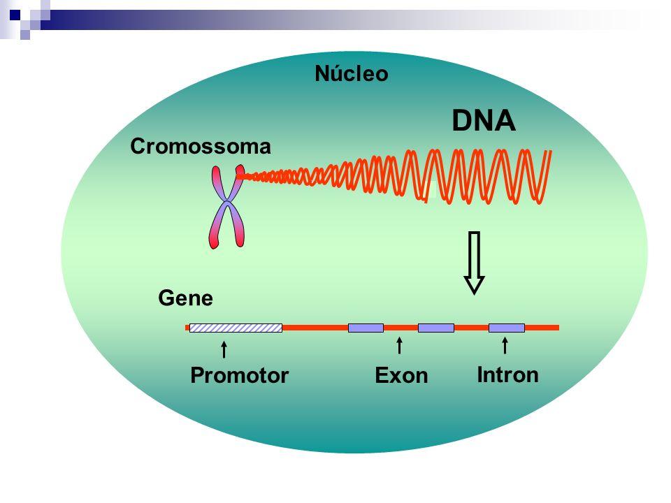 DNA Cromossoma Gene Promotor Intron Exon Núcleo