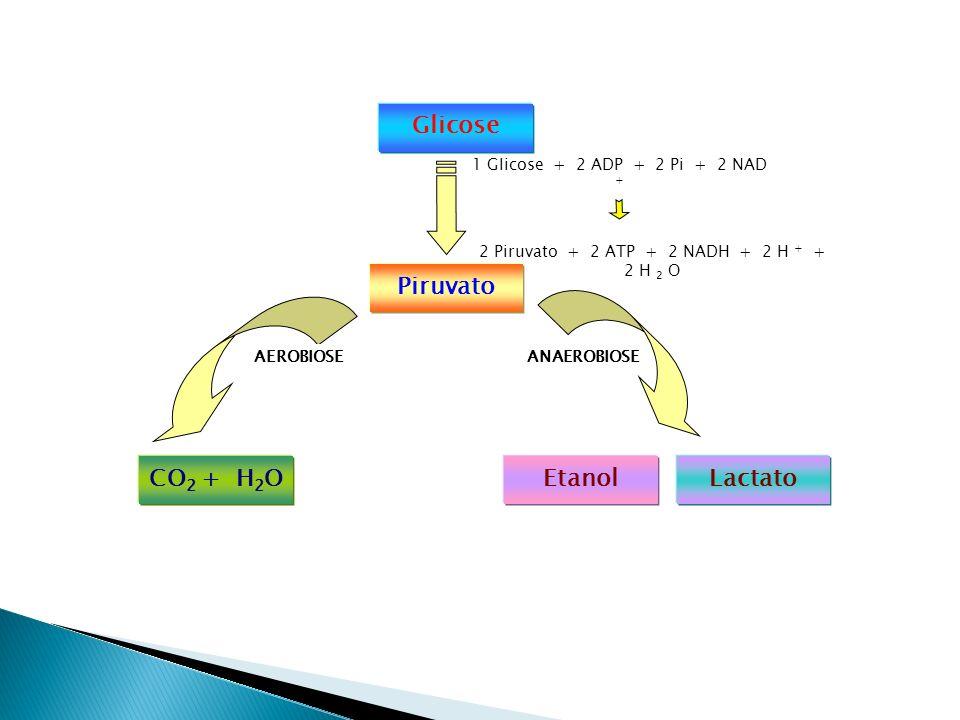 1 Glicose + 2 ADP + 2 Pi + 2 NAD + 2 Piruvato + 2 ATP + 2 NADH + 2 H + + 2 H 2 O Glicose Piruvato CO 2 + H 2 OEtanolLactato AEROBIOSEANAEROBIOSE