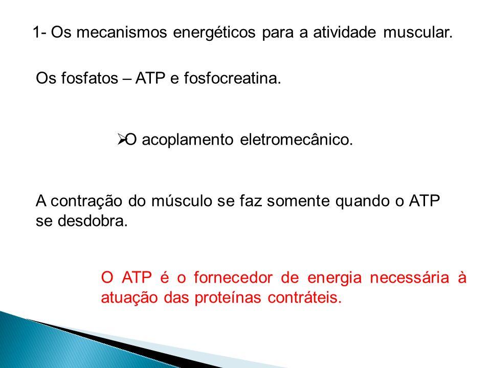 1- Os mecanismos energéticos para a atividade muscular. Os fosfatos – ATP e fosfocreatina. O acoplamento eletromecânico. A contração do músculo se faz