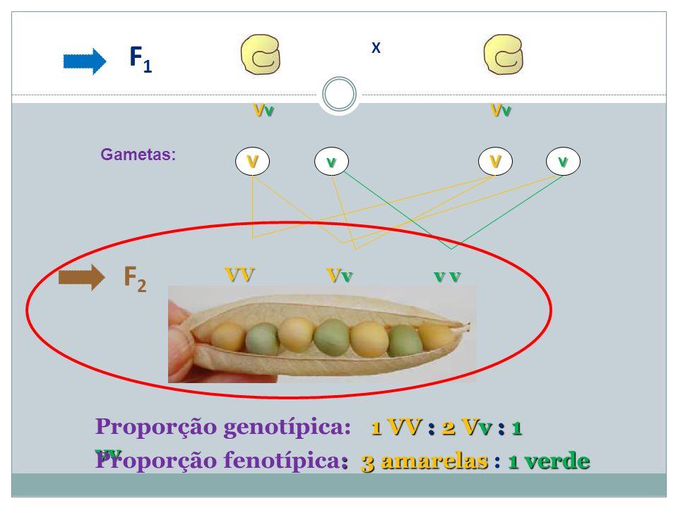 F2F2 1 VV : 2Vv : 1 vv Proporção genotípica: 1 VV : 2 Vv : 1 vv : 3 amarelas 1 verde Proporção fenotípica: 3 amarelas : 1 verde Gametas:v vVV VvVvVvVv