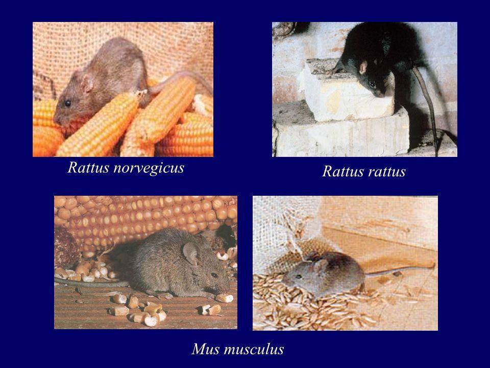 Controle de Roedores Desratização: combate direto aos ratos Métodos: Mecânicos ou físicos e químicos MECÂNICOS OU FÍSICOS: 1.Ratoeiras.
