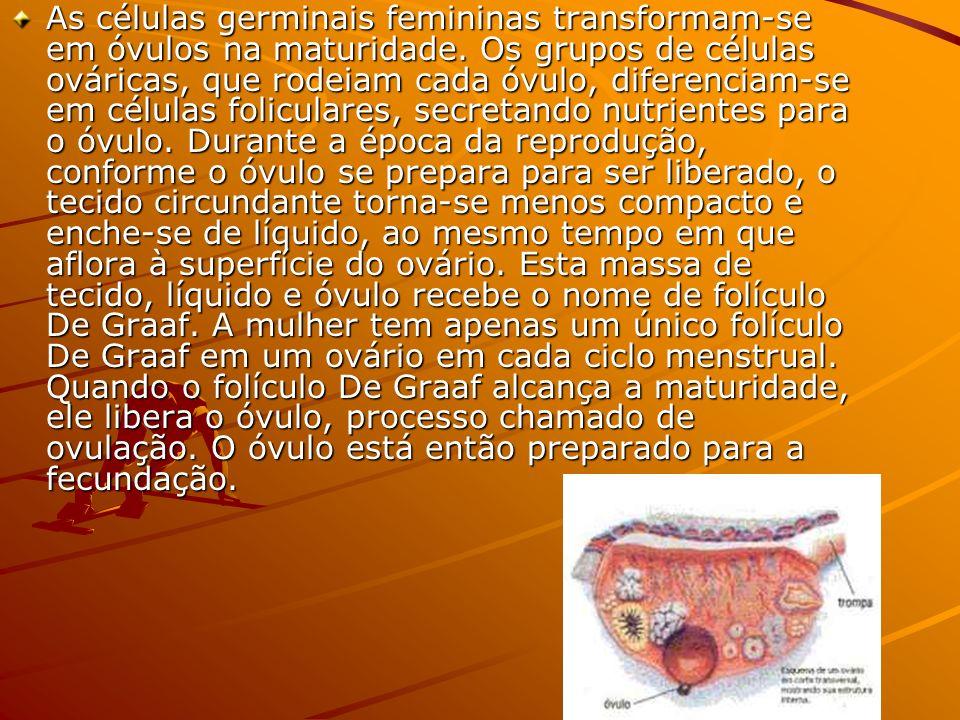As células germinais femininas transformam-se em óvulos na maturidade. Os grupos de células ováricas, que rodeiam cada óvulo, diferenciam-se em célula