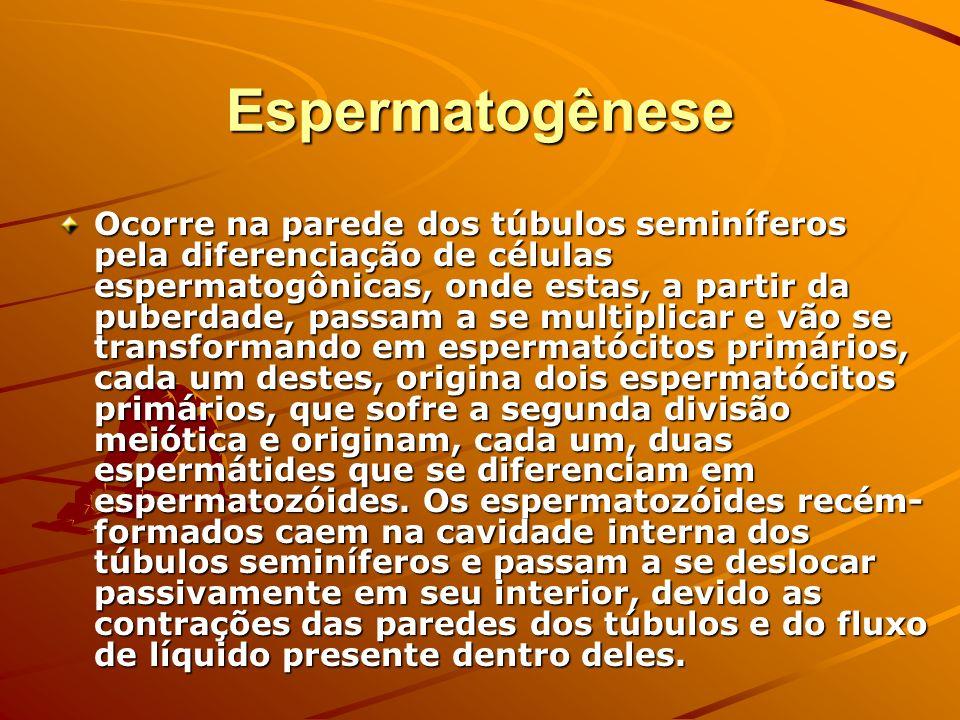 Espermatogênese Ocorre na parede dos túbulos seminíferos pela diferenciação de células espermatogônicas, onde estas, a partir da puberdade, passam a s