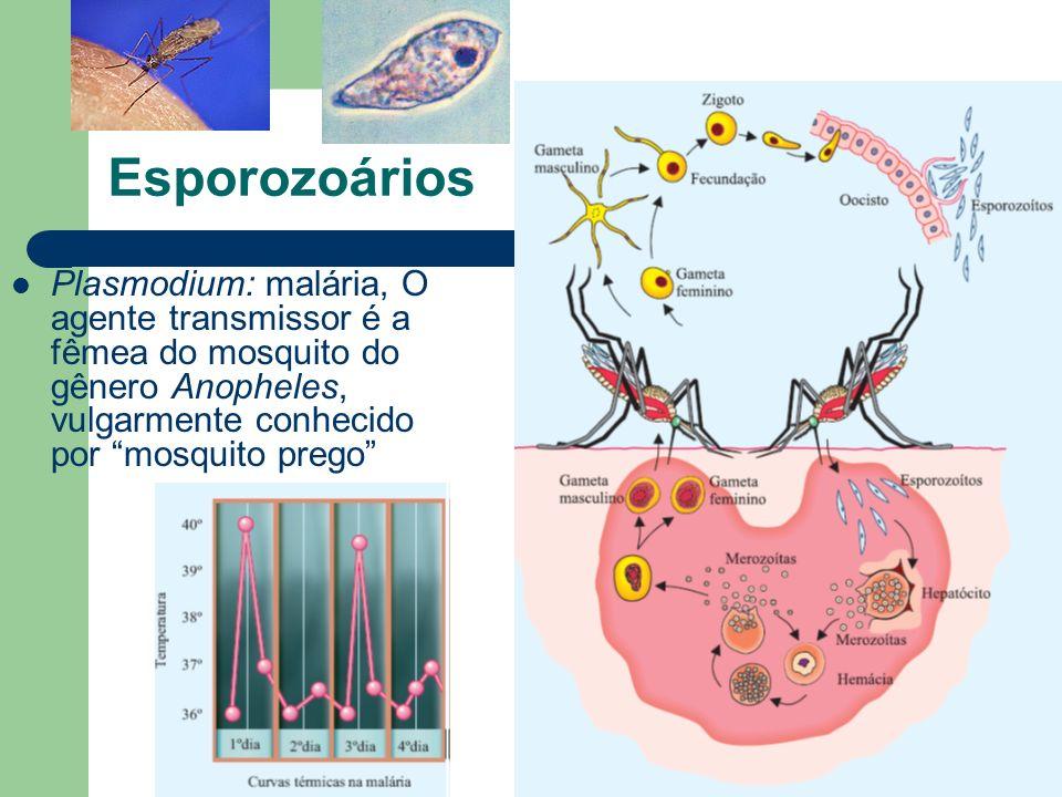Esporozoários Plasmodium: malária, O agente transmissor é a fêmea do mosquito do gênero Anopheles, vulgarmente conhecido por mosquito prego