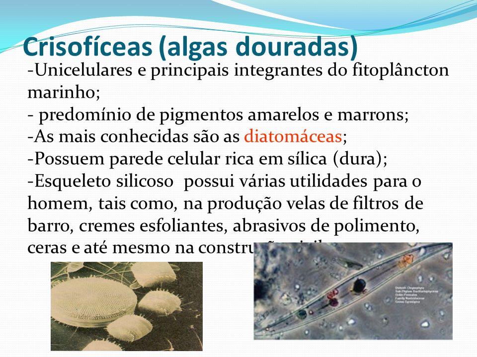 Pirrofíceas ou dinoflageladas -Importantes componentes do fitoplâncton marinho.