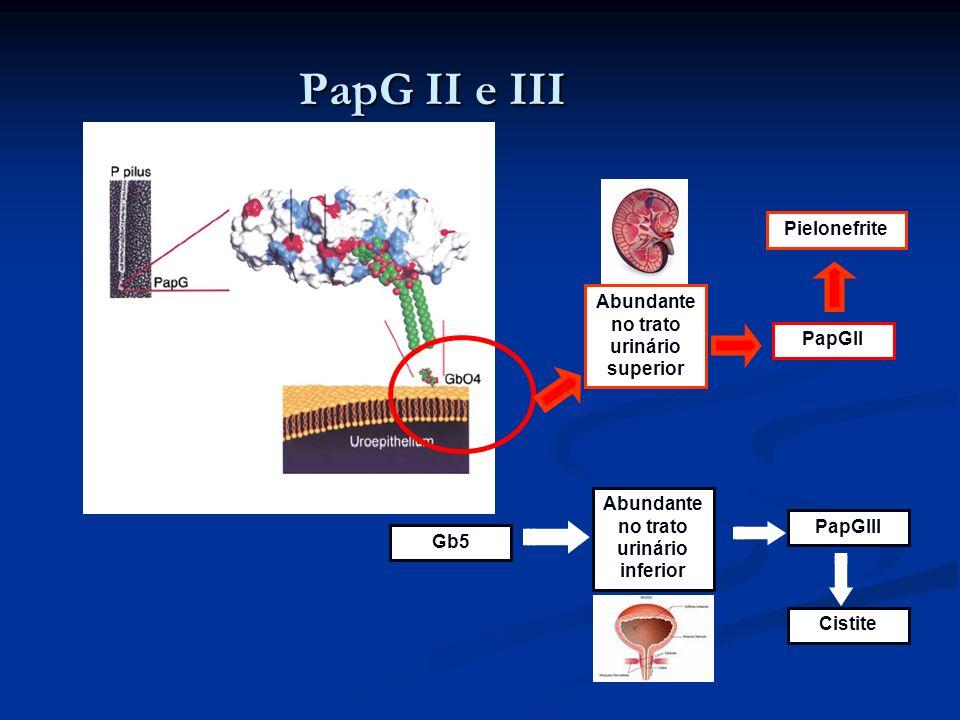 PapG II e III PapGII Gb5 PapGIII Pielonefrite Cistite Abundante no trato urinário inferior Abundante no trato urinário superior